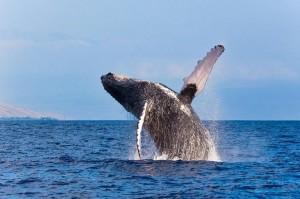 whale_watching_grand_turk